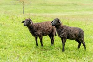 Side shot of two brown lambs standing next to each other in a meadow photo