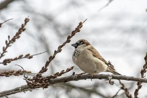 Male sparrow sits in a dense wintry shrubbery photo