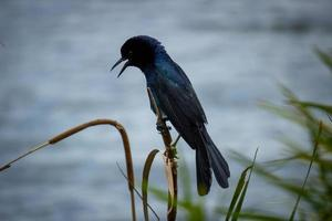 Selective focus photography of black bird perching on stick photo