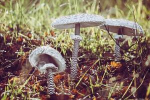 Mushroom cluster on tree trunk photo