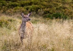 deer on grass field photo