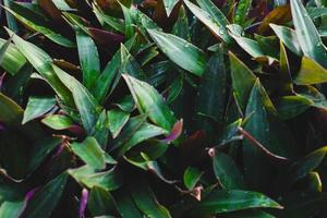 Tradescantia spathacea  background and nature backdrop photo