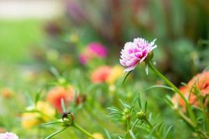 fondo de flor de verdolaga foto