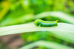 Green worm on the leaf photo