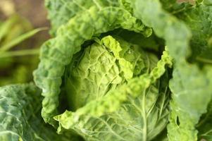 jardín de repollo blanco creciendo lwafy honestidad vegetal orgánico foto