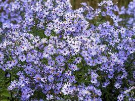 Aster azul denso poco carlow flores en la luz del sol foto