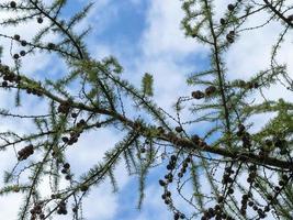 asomando a través de las ramas de los árboles de pino hacia el cielo foto