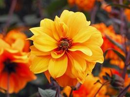 Bright yellow double Dahlia flower with a bumblebee photo