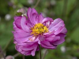 Hermosa flor de anémona rosa comenzando a marchitarse en otoño foto