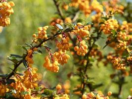 Closeup of orange blossom on a Berberis shrub photo