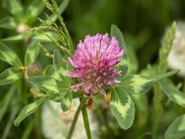 Bonita flor de trébol rosa y hojas verdes. foto