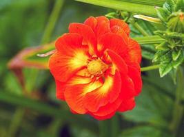 Beautiful double Potentilla William Rollison cinquefoil flower photo