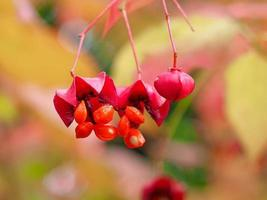 Primer plano de la apertura de bayas rojas de euonymus maximowiczianus foto