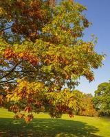 Roble con hermoso follaje otoñal en un parque foto