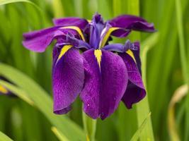 Japanese water iris Iris ensata in full bloom photo