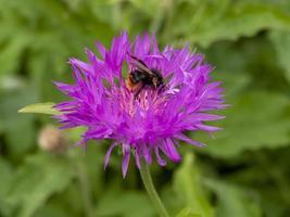 Purple cornflower with a visiting bee pollinator photo