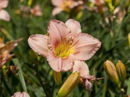 melocotón hemerocallis daylily variedad de flores barbara mitchell foto