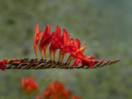 Crocosmia flower spike with red flowers and buds photo