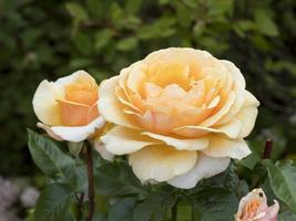 Apricot coloured rose blooms variety Sue Hipkin photo
