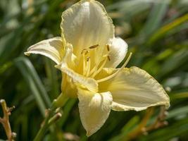amarillo hemerocallis daylily variedad de flores carnaval de hielo foto