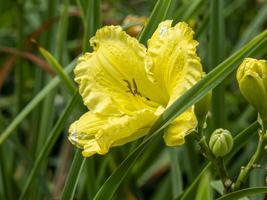 Amarillo hemerocallis daylily variedad de flores belleza de Missouri foto