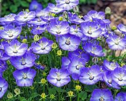 Violet blue Campanula Samantha flowers in a garden photo