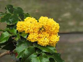 flores amarillas en un jardín acebo foto