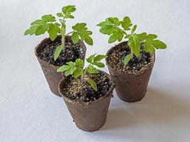 Three tomato seedlings growing in fibre pots photo