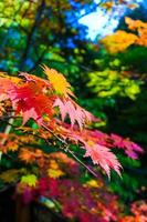 Maple leaves colored in autumn at the park photo