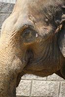 An african elephant at the zoo park photo