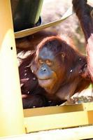 A baby of orangutan at the zoo park photo