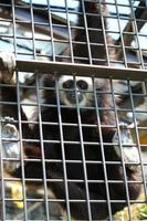 White handed gibbon at the zoo park photo