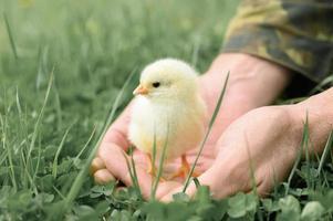 pollito bebé recién nacido sosteniendo hombre adulto manos de granjero foto