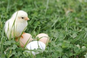pollito huevos de gallina granja hierba pascua feliz naturaleza foto