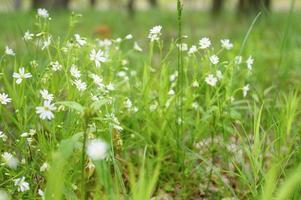 stellaria wild flower plant medicinal field forest grow nature photo