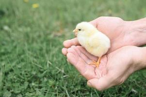 chick newborn baby holding adult man farmer hands photo