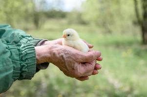 chick newborn baby holdinh senior farmer hands photo