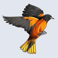 Beautiful Golden Baltimore oriole Bird Flying hand drawn oriole isolated on white background vector