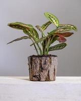 Maranta leuconeura prayer plant in wooden pot photo