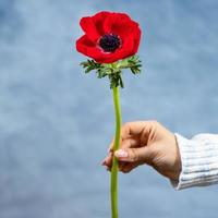 Woman holding red Papaver rhoeas Common poppy flower photo