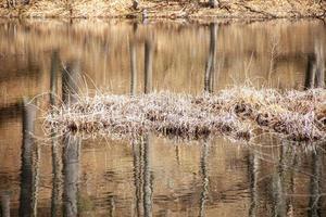 Hierba de pantano en medio de un estanque en la primavera foto