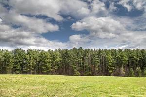 Green pine trees in the forest in the spring photo
