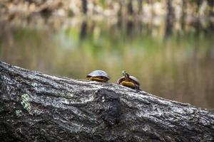 Turtles sitting on a piece of wood in a pond photo