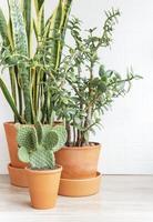 cactus sansevieria krasula plantas de interior foto