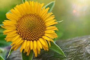 beautiful yellow flower in spring season photo