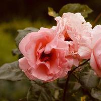 romantic pink flower in spring season photo