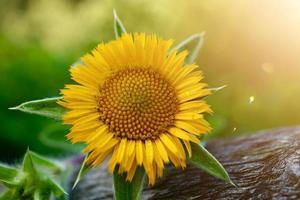 beautiful yellow flowers in the garden in springseason photo