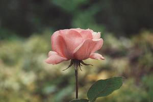 romantic pink rose flower in the garden in spring season photo