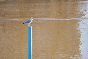 A seagull on a blue pole against the background of the river photo