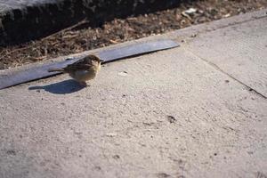 An urban sparrow on the ground in the sun photo